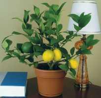 Выращивание комнатного лимона