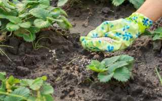 Чем удобрять клубнику осенью после посадки