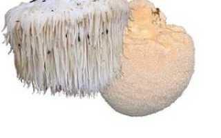 Использование гриба ежевик