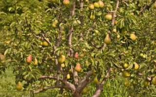Уход за грушами весной условия и посадка