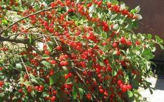Особенности культивирования вишни бессея
