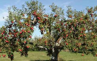 Как выпрямить яблоню