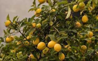 Почему опадают завязи у лимона