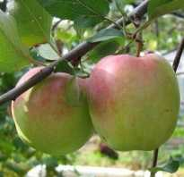 Выбираем зимние сорта яблок