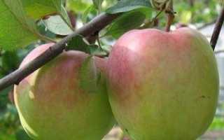Самые вкусные зимние сорта яблок