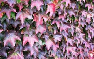 Девичий виноград размножение черенками осенью