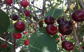 Сортовые признаки гибрида черешни и вишни чудо