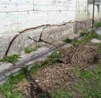 Особенности веерной формировки виноградного куста
