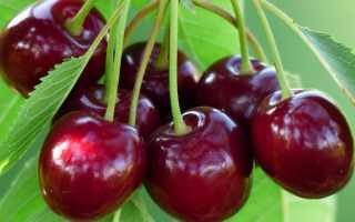 Какие ранние сорта черешни имеют высокую урожайность