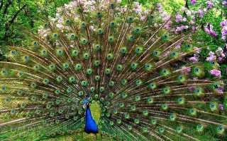 Красивая курица павлин характеристика