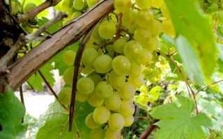 5 способов хранения черенков винограда
