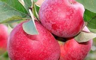 Описание яблок сорта макинтош