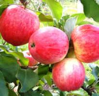 Яблоня алое раннее описание сорта