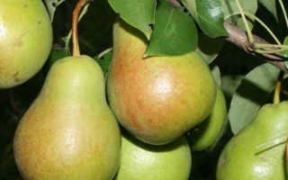 Происхождение и особенности груши чижовская
