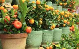 Особенности ухода за цитрусами кумкват и оранжекват