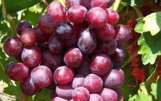 Дунав сорт винограда покоривший сердца виноградарей