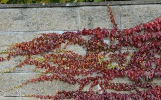 Способы посадки девичьего винограда