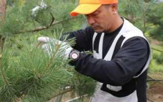Обрезка хвойных деревьев и кустарников