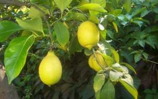Описание сортов лимонов