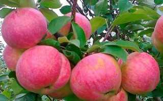 Сорт яблони розовый налив