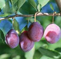 Выращивание сливы конфетная