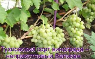 Сорт винограда белый великан