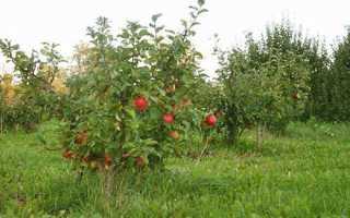 Яблоня аленький цветочек описание сорта