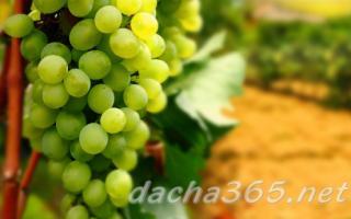 Посадка лозы винограда черенками