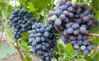 Виноград гала описание отзывы фото