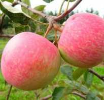 Лучшие зимние сорта яблонь для средней полосы