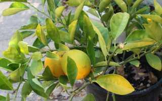 Причины опадания листьев у лимона