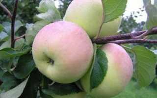 Описание и фото яблони болотовское видео