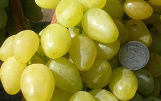 Виноград сорта зарница