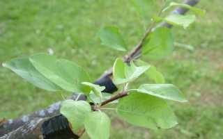 Прививка груши весной летом и осенью