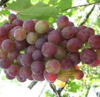 Особенности виноградного сорта лидия