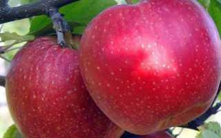 Особенности выращивания яблони антей
