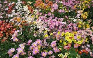 Хризантема яблоневый цвет описание