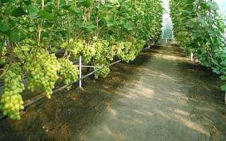 Уход за виноградником в первый год после посадки