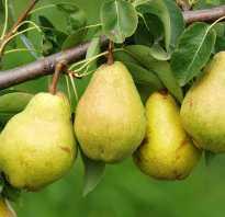 Груша обыкновенная плодовые деревья фото описание кроны и плода груши