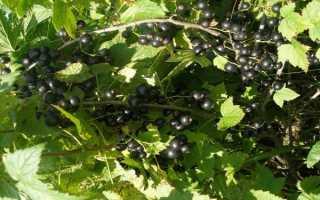 Характеристики черной смородины валовая
