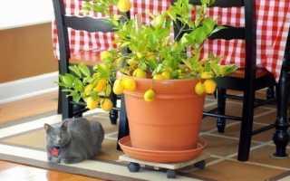 Почему лимон выращивают дома
