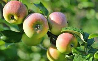 Непривередливая яблоня свежесть описание фото
