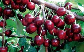 Выращивание черешни ревна
