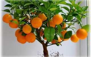 Особенности выращивания апельсина из косточки в домашних условиях