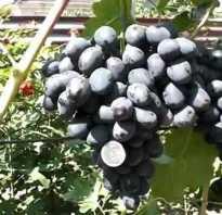Виноград забава для настоящих гурманов