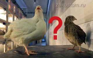 Курица несушка против перепелки кто несет больше яиц