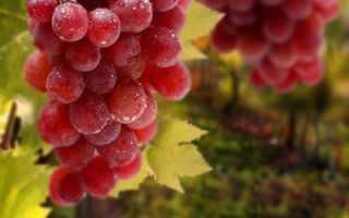 Розовые и красные ранние сорта винограда