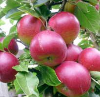 Чем подкормить яблоню во время цветения