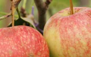 Яблоня красная шапочка описание сорта