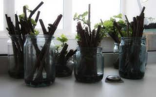 Как посадить виноград черенками весной инструкция для новичка